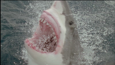 Great White Shark Feeding Stock Footage