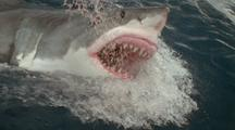 Great White Shark Leaps With Jaws Wide Open, Pink Gums Snap Back, Many Teeth Bared, Throat Open, Misses Bait