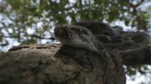 Looking Up At Large Boa Constrictor Slithering Down A Tree Trunk