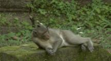 Long-Tailed Macaque Stretches Out On Its Back Before Yawning And Playing With Another Monkey