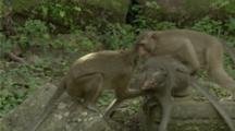 Long-Tailed Macaques Play Or Wrestle