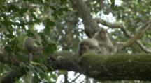 A Family Of Long-Tailed Macaques Grooms Each Other In A Tree