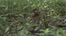 Baby Long-Tailed Macaque Forages On The Forest Floor