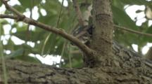 Large Python Snake Moves Through Jungle, Close Up Face And Flickering Tongue