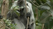 Indochinese Silvered Langur Climbs In Tree
