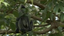 Indochinese Silvered Langur Climbs Tree Then Jumps To Next Tree