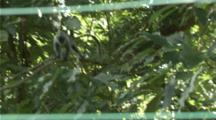 Indochinese Silvered Langur Jumps From Tree