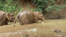 Asian Elephants In Muddy Pool, River