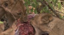 Female Lions Feed On Prey