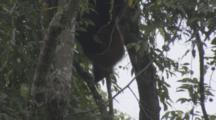 Proboscis Monkeys In Borneo Jungle