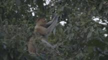 Proboscis Monkey Feeds In Borneo Jungle