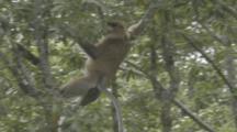 Proboscis Monkey In Borneo Jungle