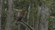 Proboscis Monkey In Tree In Borneo Jungle