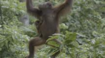 Orangutan With Baby, Climbs In Jungle, Possibly Enclosure