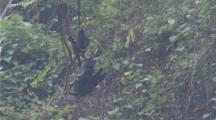 Ha Tinh Langurs Play In Jungle