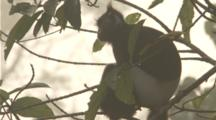 Delacours Langur Rests In Tree, Tilt From Tail To Head