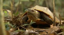 Turtle Grabs, Feeds On Earthworm In Jungle