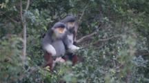 Red-Shanked Douc Langurs High In Tree, Jump To Another Branch