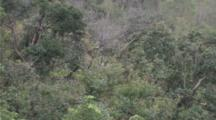Red-Shanked Douc Langur High In Tree, Jumps To Another Branch