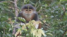 Red-Shanked Douc Langur Feeds In Forest, Pan To Another One