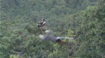Red-shanked Douc Langurs high in tree, young jumps away