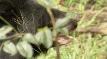 Asian Black Bear walks hidden in forest