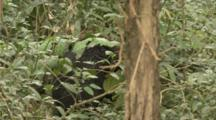 Asian Black Bear hidden in forest