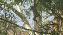 Golden-Cheeked Gibbons In Trees