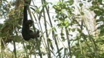 Golden-Cheeked Gibbon hangs In Tree, feeds