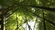 Jib Up Bamboo Thicket, Sun Glinting Through Leaves Of Criss-Crossed Bamboo