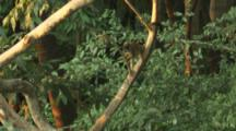 Squirrel Monkey In Trees Of Rainforest