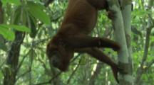 Howler Monkey Hangs From Tree Of Rainforest, tilt up to show tail