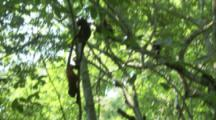Howler Monkeys In Trees Of Rainforest