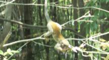 Squirrel Monkey Feeds On Flowers In Rainforest