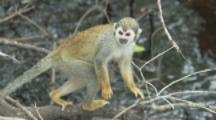 Squirrel Monkeys In Trees Of Rainforest