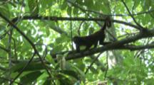 Howler Monkey Runs Around In Rainforest