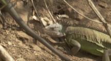 Iguanas in territorial dispute
