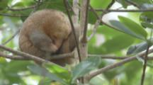 Silky Anteater Sleeping In Tree