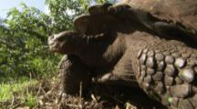 Giant Tortoise, close up head and shell, walks away