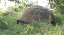 Giant Tortoise in grass, focus on shell
