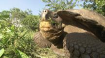 Giant Tortoise feeds on grass,grass in mouth