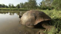 Giant Tortoise rests in Freshwater Pool