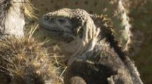 Land Iguana climbs on back legs to Feed On Cactus