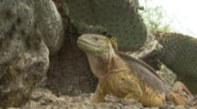 Land Iguana Feeds On Cactus