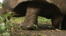 Giant Tortoise walks in forest, close up of feet and tail