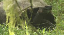 Giant Tortoise behind moss or lichen