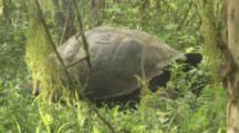 Giant Tortoise hidden behind grass