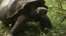 Giant Tortoise walks in forest toward camera