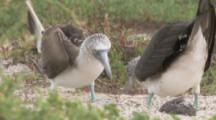 Blue-footed Boobies in Courtship Display, shake beaks