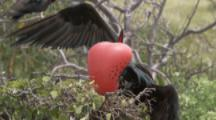 Male Magnificent Frigatebird Flutters Wings And Displays Enlarged Red Gular Pouch